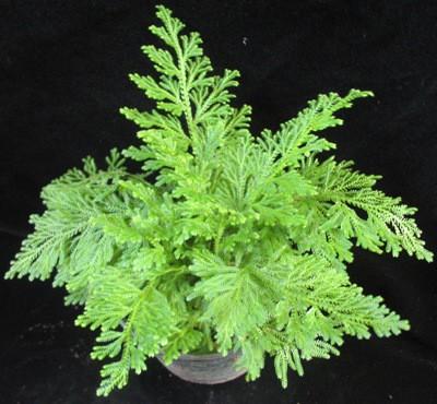 Selaginella cuspidata 12