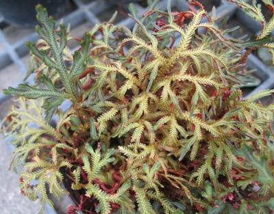 Selaginella erythropus 12