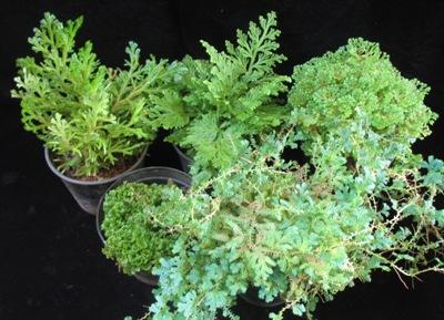 Selaginella group сравнение