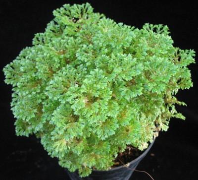 Selaginella kraussiana 12