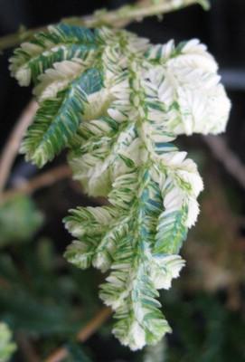 Selaginella sp variegata 25