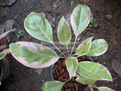 Solandra grandiflora albomarginata 35