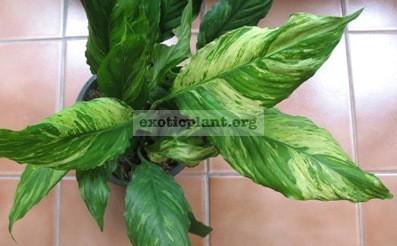 Spathiphyllum Manua Loa (White variegated) 30 (Спатифиллум Мануа Лоа, белая вариегатная форма)