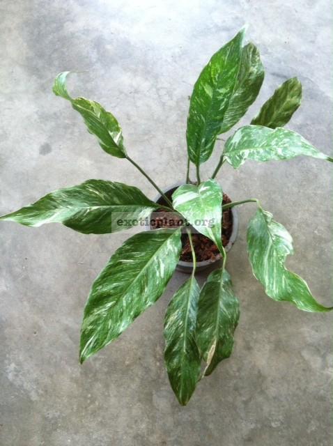 "Spathiphyllum  Silver Rain  / спатифиллум Сильвер Рейн, ""Серебрянный дождь"" 35"