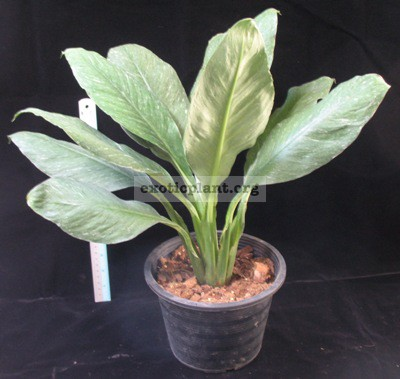 Spathiphyllum cannifolium  Silver Dust  30  out of stock недоступен к заказу