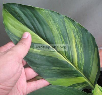 Spathiphyllum cochlearispathum  Sunny Sails  (yellow form)= Spatithyllum Sensation yellow variegated 90-120 (по цене 90 временно недоступен к заказу)