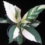 Spathiphyllum cannifolium 'Sunny Sails'(white form)