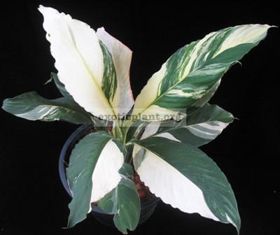 Spatithyllum cochlearispathum Sunny Sails (white form) = Spatithyllum Sensation white variegated 90-120-200 (по цене 90 временно недоступен к заказу)