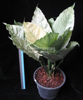 Spathiphyllum blandum  Spilt Milk  16-25-50
