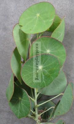 Stephania erecta 30
