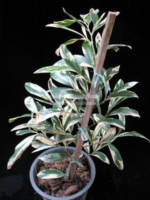 Suregada multiflora (white leaf) 25