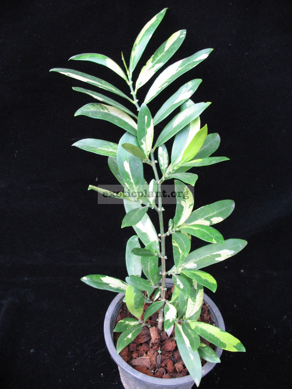 Suregada multiflorum (yellow leaf) 25