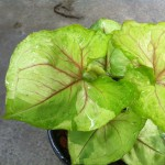 Syngonium Rassamee Thong variegated 20