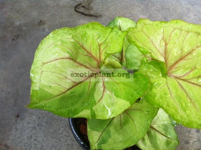Syngonium Rassamee Thong variegated 20 временно недоступен к заказу
