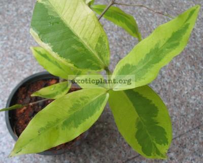 Syzygium jambos 'Lemonlime' 35