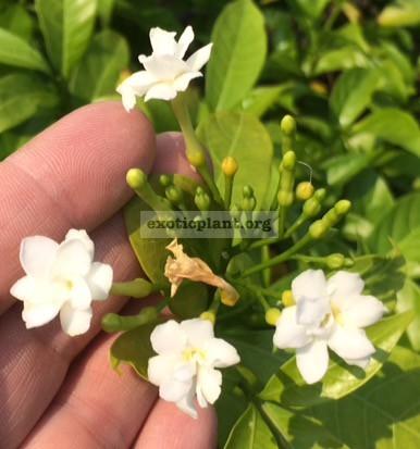 Tabernaemontana divaricata  Little Star  20