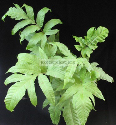 Tectaria sp.(T01) 26