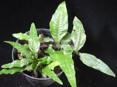 Tectaria sp.(T03) 23