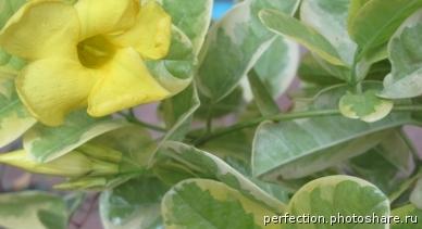 Urechites lutea variegated = Mandevilla lutea Tropical Dream 20
