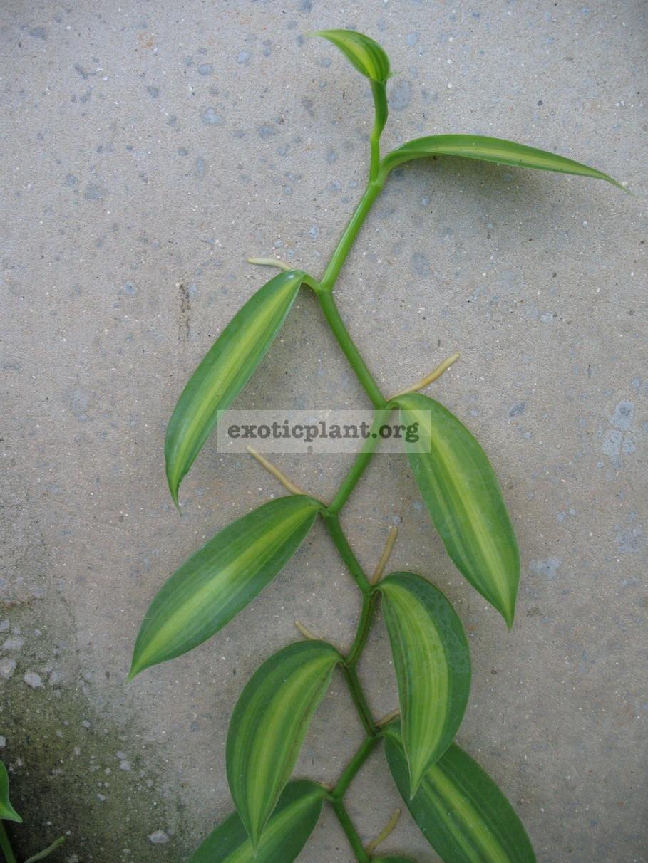 Vanilla planifolia 'Lemon Splash' 10