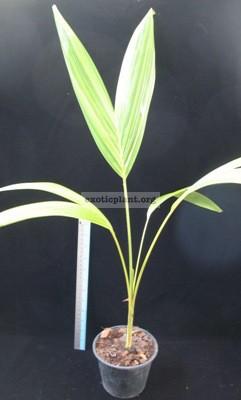 Vietchia merillii variegated 50