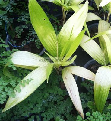 Vietchia merrillii 'Golden leaf' 35