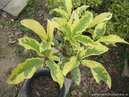 Vitex glabata variegata 40