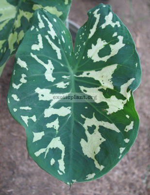 Xanthocaladium Hilo Beauty 20