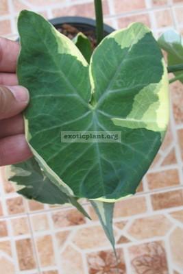 Xanthosoma sagittifolium albomarginata 20