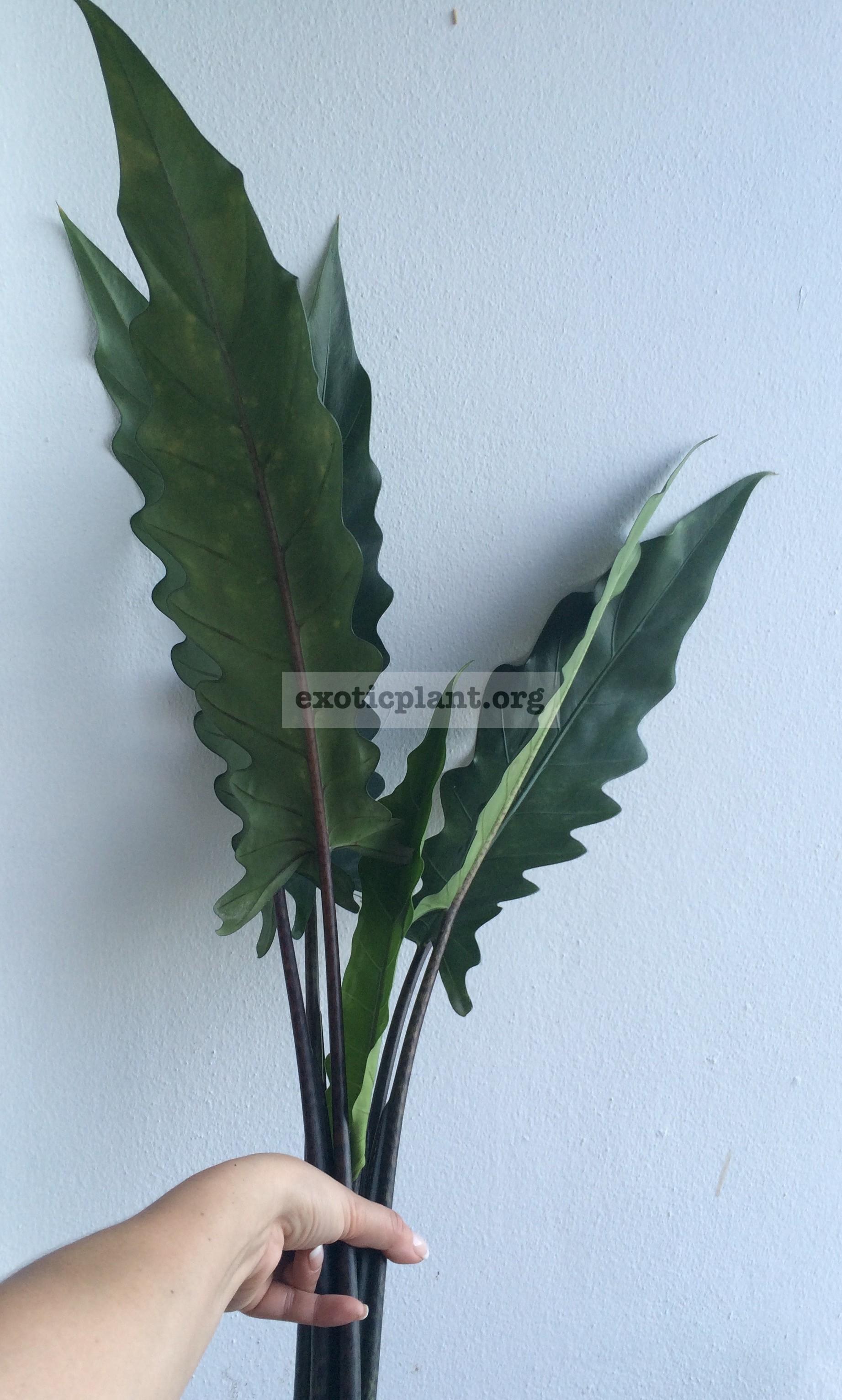 Alocasia lauterbachiana 20