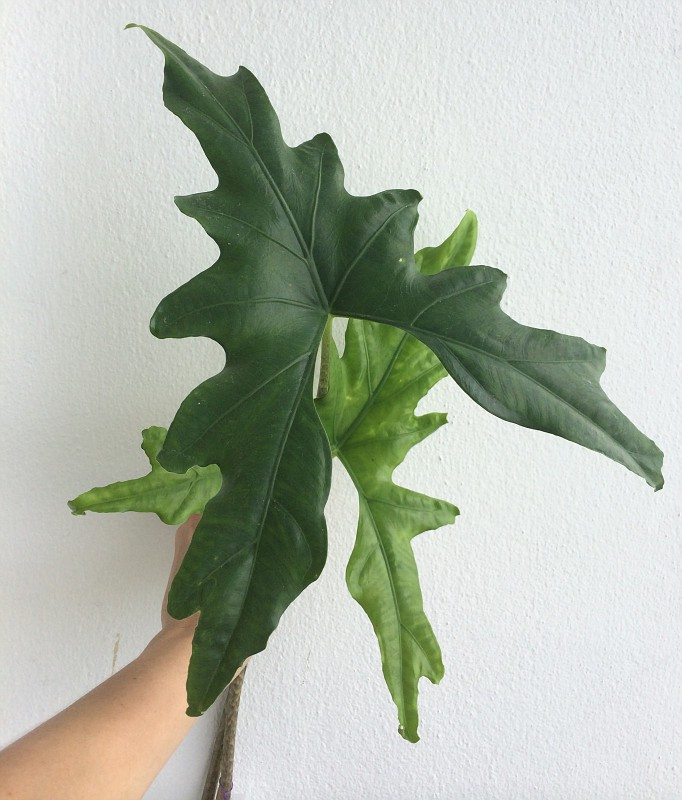 alocasia sp Butterfly30