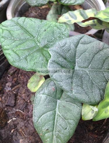 alocasia sp (S01) (S) 44   растение меньше, чем на фото