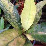 anthurium Black Dragon variegated (взрослое растение)