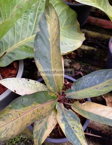 anthurium Black Dragon variegated (S) 100-120