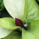 anthurium Golden Jemanii purple top (взрослое растение)- к продаже маленькое растение 10 см высотой - 3 листа - anthurium Golden Jemanii purple top (S) 44