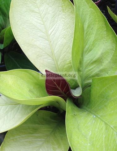 anthurium Golden Jemanii purple top (взрослое растение)- к продаже маленькое растение 10 см высотой   3 листа   anthurium Golden Jemanii purple top (S) 44