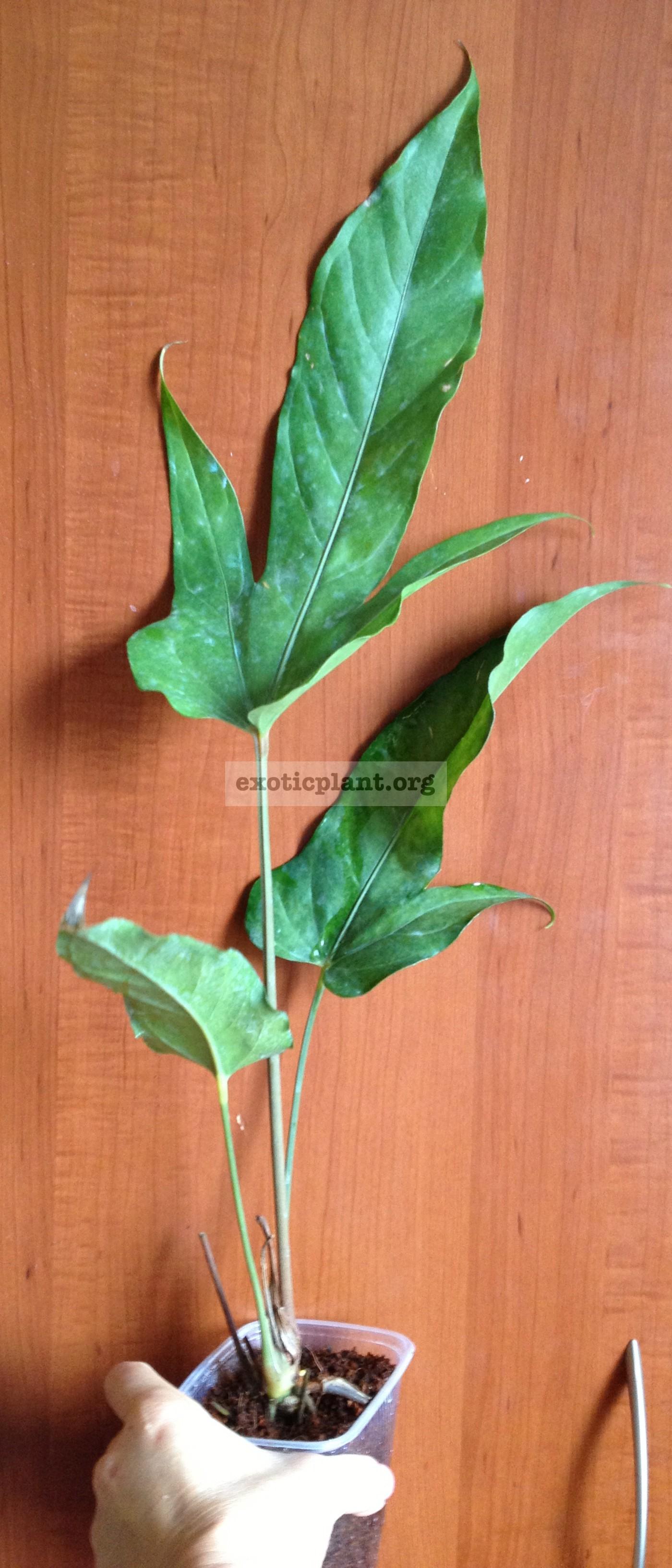 anthurium sp Papaya 50
