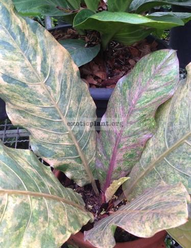 anthurium hookeri pink variegated (к продаже предлагается растение меньше, чем на фото) 50-70-100