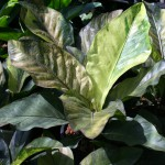 anthurium hookeri var brown