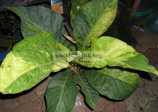 anthurium hookeri variegata пример взрослого растения