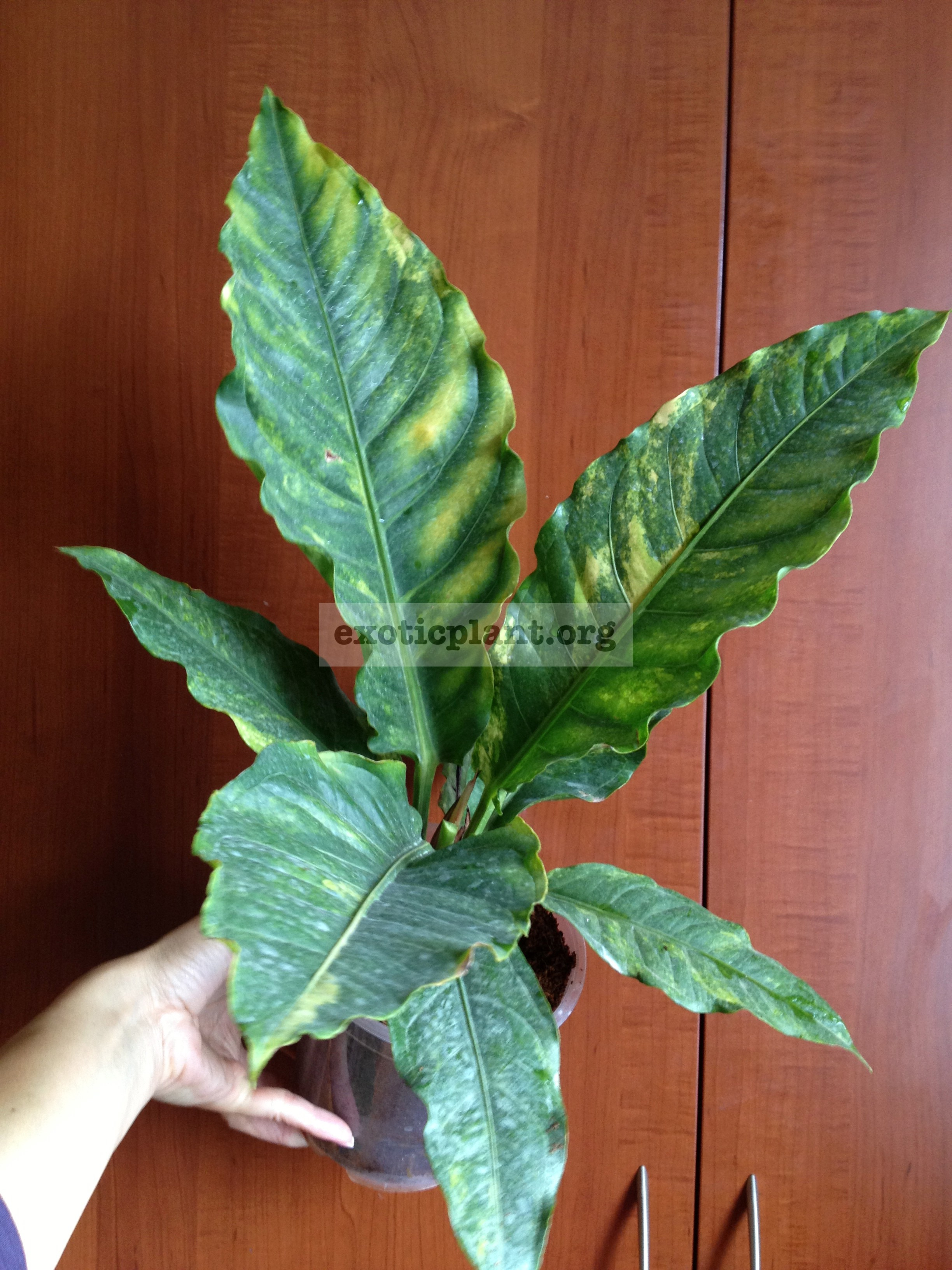 anthurium hybrid variegated 60