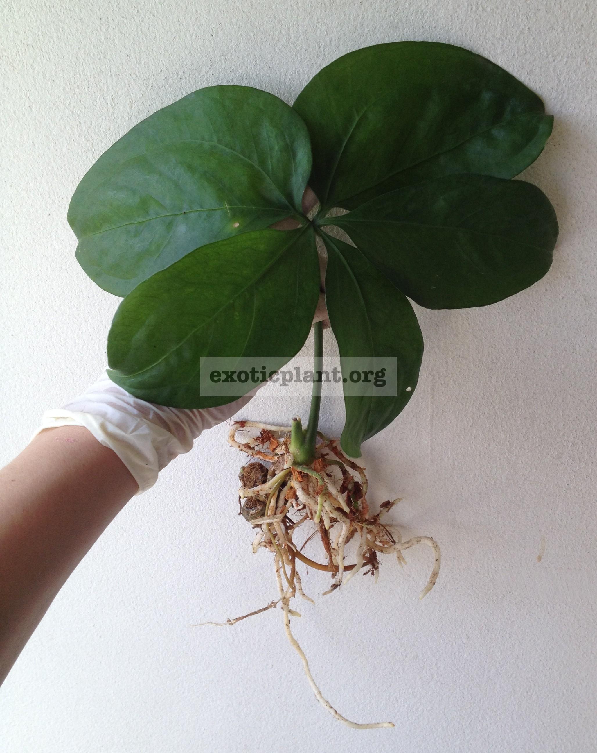 anthurium sp Round Tips 25-40 (по цене 25 временно недоступен)