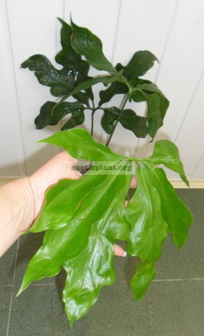 anthurium sp Wavy 25-40