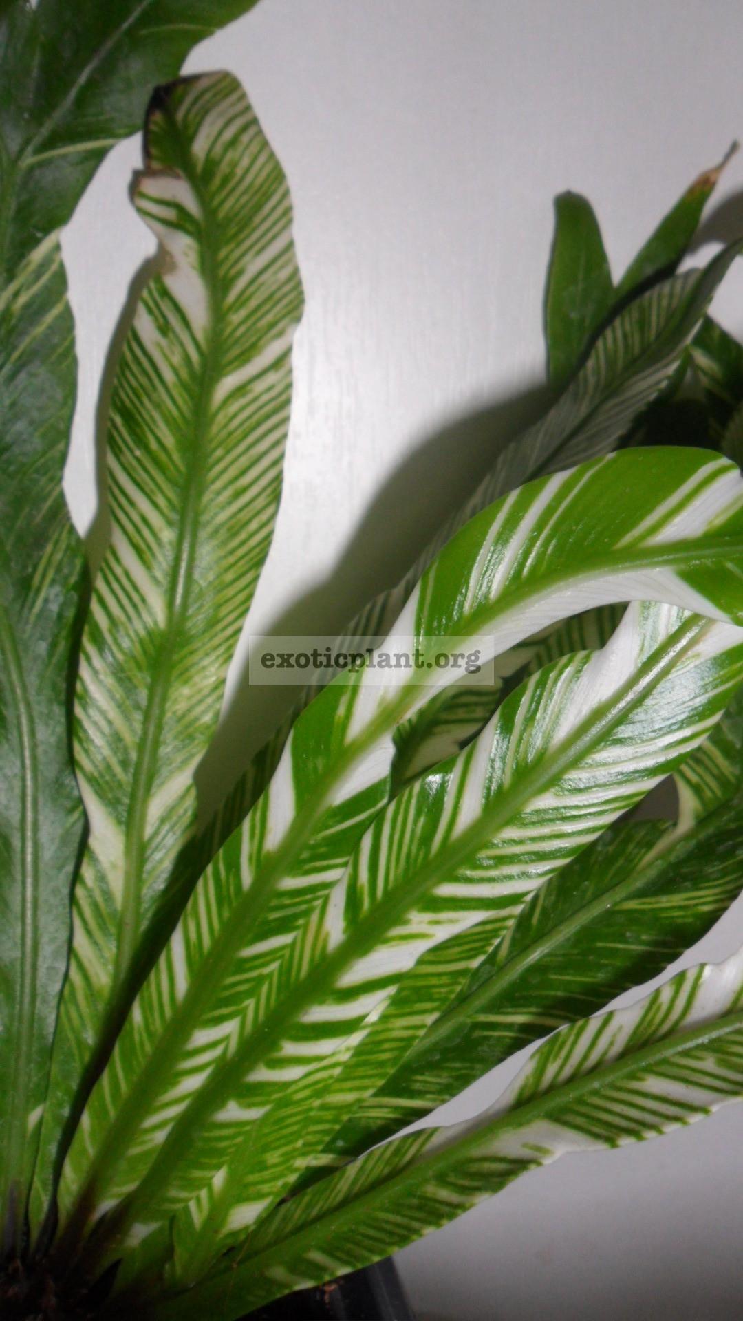 Asplenium nidus variegated ex Japan 25-45