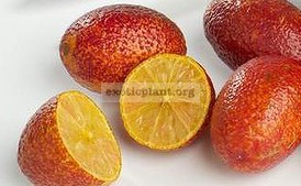 australian finger lime Australian Blood Lime 23-40