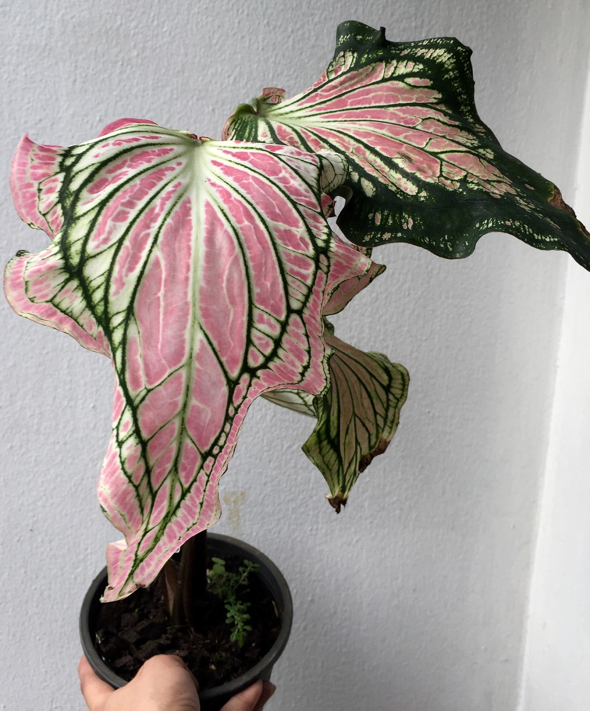 caladium Hok Long — 20