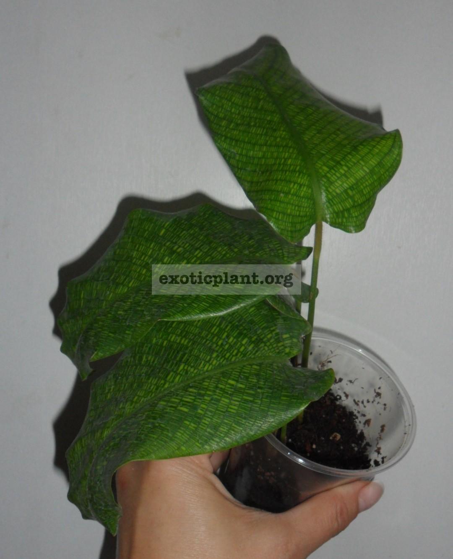 Calathea musaica 10-15