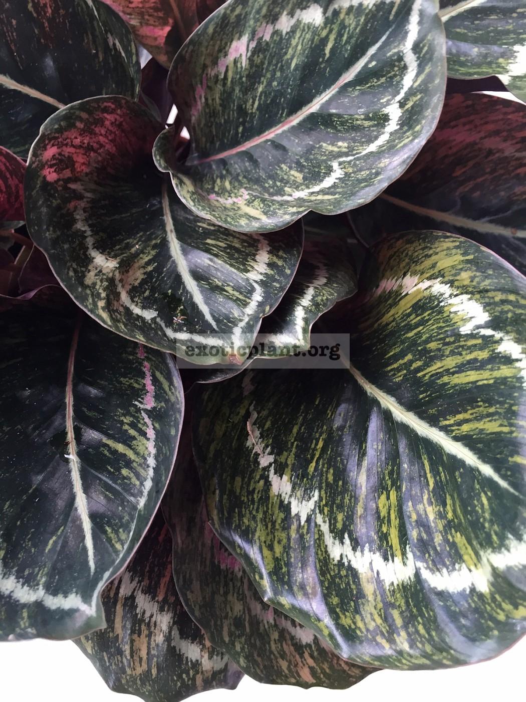 calathea roseopicta variegated