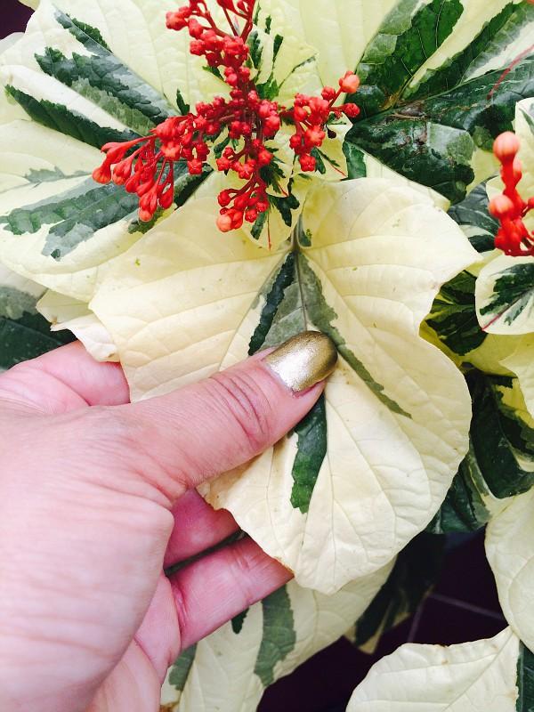 Clerodendrum paniculatum white variegated 100