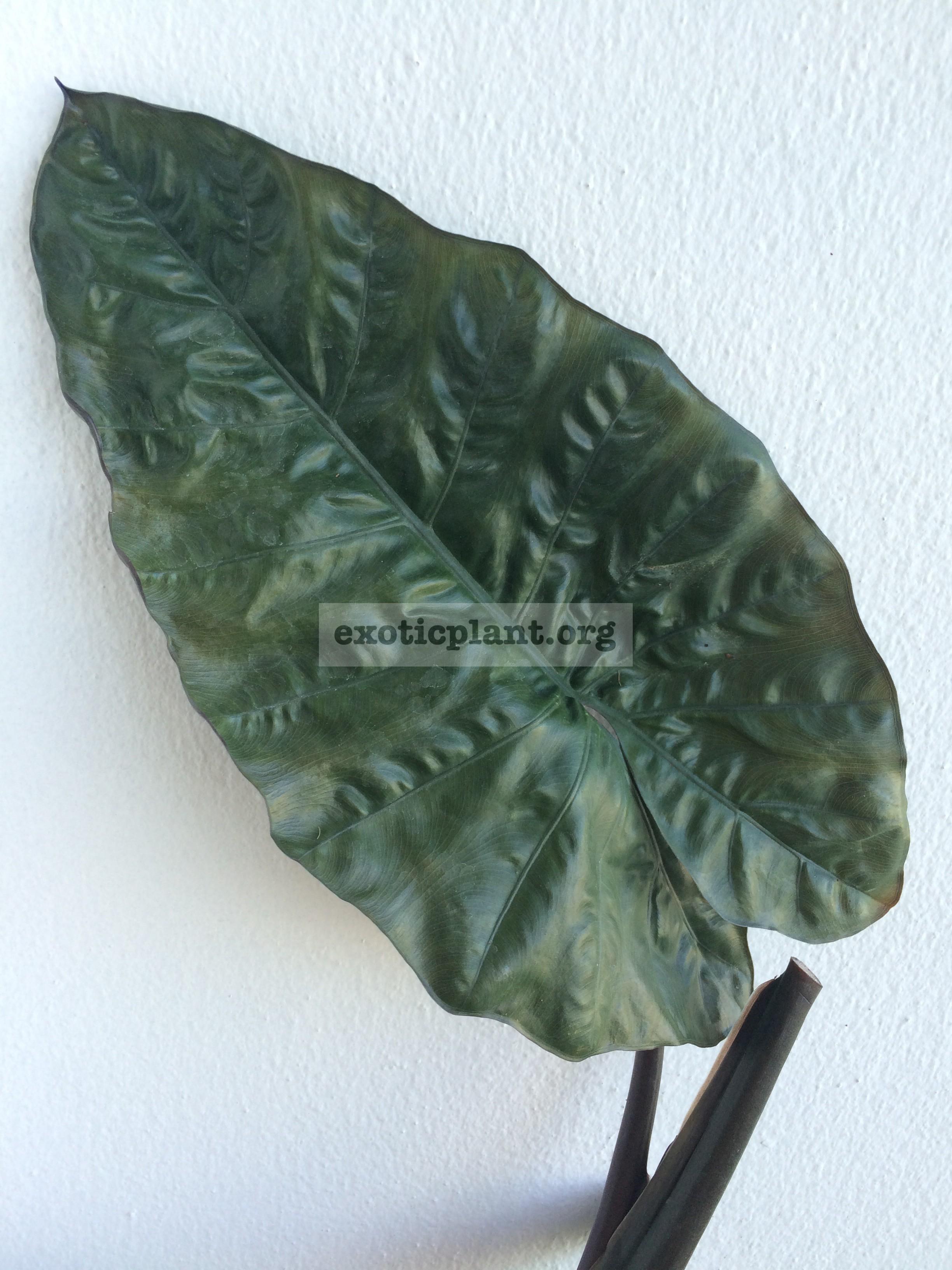 Colocasia esculenta  Kona Coffee  20